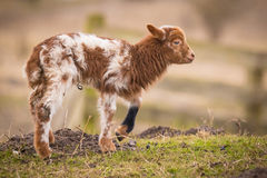 Newborn lamb Royalty Free Stock Photography