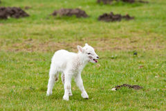 Newborn Lamb Calling for Mother Royalty Free Stock Photos