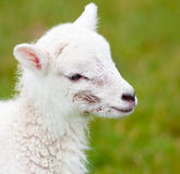 Newborn Lamb Close Up with Birth Mark Stock Photo