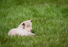 Newborn lamb Royalty Free Stock Photos