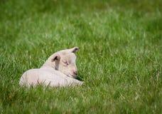 Newborn lamb. Contented newborn lamb sleeping peacefully in the sunshine Royalty Free Stock Photos