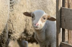 Newborn lamb on the farm. In spring time royalty free stock photography