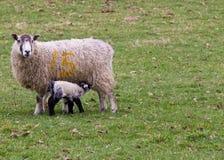 Newborn lamb feeding Stock Photography