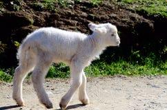 Newborn lamb Royalty Free Stock Images