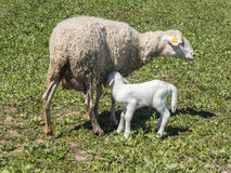 Newborn lamb with his mother Royalty Free Stock Image