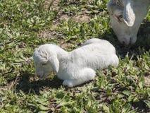 Newborn lamb with his mother Stock Photos