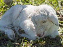 Newborn lamb Royalty Free Stock Photography