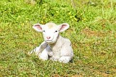 Free Newborn Lamb In The Meadow Stock Photos - 18464263