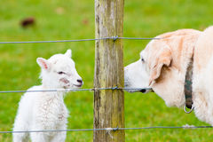 Newborn Lamb and Labrador Dog Sniffing Each Oth Royalty Free Stock Images