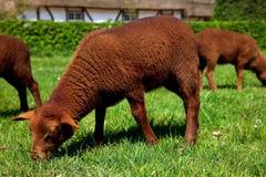 Newborn lamb in meadow. Royalty Free Stock Photos