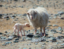 Newborn lamb Royalty Free Stock Photo