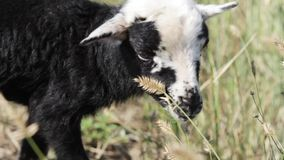 Newborn lamb stock video