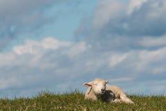 Newborn lamb resting on grass Royalty Free Stock Images