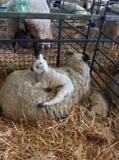 Newborn Lamb Resting on Mum! royalty free stock photos