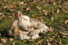 Newborn lamb sleeping Royalty Free Stock Photo