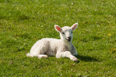 Newborn lamb on spring meadow Stock Photography