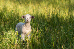 Newborn lamb standing on green field Stock Photos