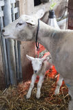 Newborn lamb on straw under red light of heat lamp and ewe. Newborn lamb on straw under red light of heat lamp and mother sheep on organis farm in the stock photography