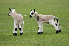 Newborn lamb twin Royalty Free Stock Photos