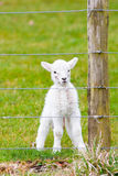 Newborn Lamb With Umbilical Watching from Behind Stock Photo