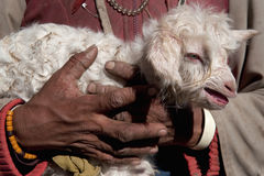 Newborn lamb white, curly-haired, small and defenseless in the rough, woman hands shepherd, Tibet. Newborn lamb white, curly-haired, small and defenseless in Stock Images
