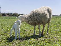 Newborn Lamb With His Mother Royalty Free Stock Images