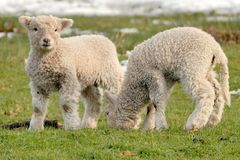 Newborn Lambs. A pair of newborn lambs in a field, one lamb looking at the camera, the other eating the grass (landscape orientation royalty free stock photo