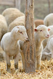 Newborn lambs on the farm Royalty Free Stock Photo
