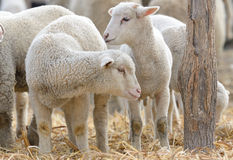 Newborn lambs on the farm Royalty Free Stock Photos
