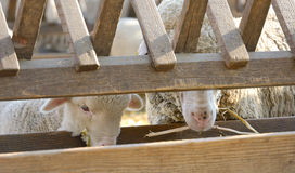 Newborn lambs on the farm Stock Photography