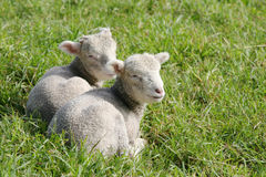 Newborn lambs in the paddock. Twin white lambs lying in the paddock stock image
