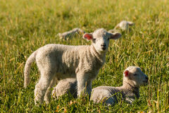 Newborn lambs resting on meadow Royalty Free Stock Photos