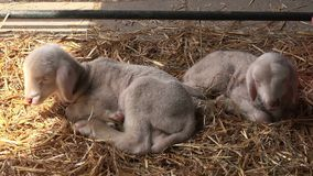 Newborn lambs sleeping in hay on farm stock video