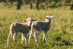 Newborn lambs standing on meadow Stock Images