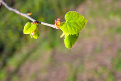New leafs in spring season. Spring season is coming. Born of the new green leafs Royalty Free Stock Photography