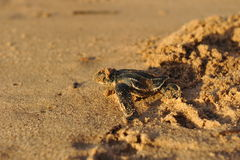 Newborn Leatherback sea turtle. Crawling up the beach into the ocean Stock Photo