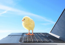 Chicken and laptop Stock Image