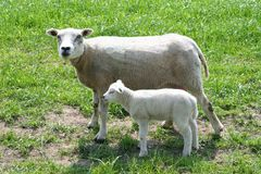Newborn little lamb with mother in Dutch Flevoland, Noordoostpolder, Holland. Newborn little lamb with his mother in the North East polder (Noordoostpolder) Stock Photo