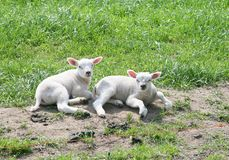 Two newborn little lambs in a polder, Netherlands Stock Photo