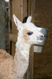 A newborn Llama (Lama glama) Stock Photos