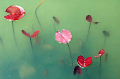 Newborn lotus leaves in pond Royalty Free Stock Photos