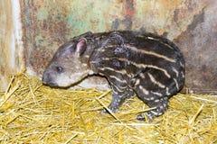 Newborn lowland tapir (Tapirus terrestris) Stock Photos