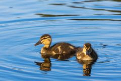 Newborn Mallard ducklings. Two newborn Mallard ducklings swimming in the lake Stock Photography