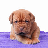 Newborn mastiff puppy Stock Photos