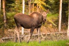 Newborn Moose Calf Feeding On Grass Alaska Wilderness Royalty Free Stock Images