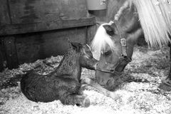 Newborn. Mother and foal bonding after birth Royalty Free Stock Photography