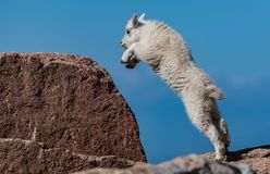A Baby Mountain Goat Kid Playing and Jumping on the Rocks at the Top of the Mountain. A Newborn Mountain Goat Lamb kid Joyfully Jumping on Rocks on a Mountain stock image