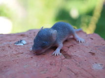 The newborn mouse is on a brick Royalty Free Stock Photos