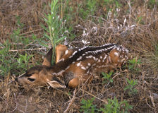 Newborn Mule Deer Fawn Stock Images