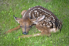 Newborn Mule Deer Fawn Stock Image